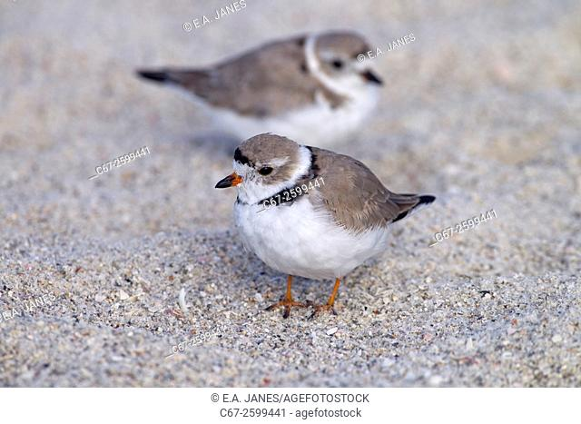 Piping Plover Charadrius melodus