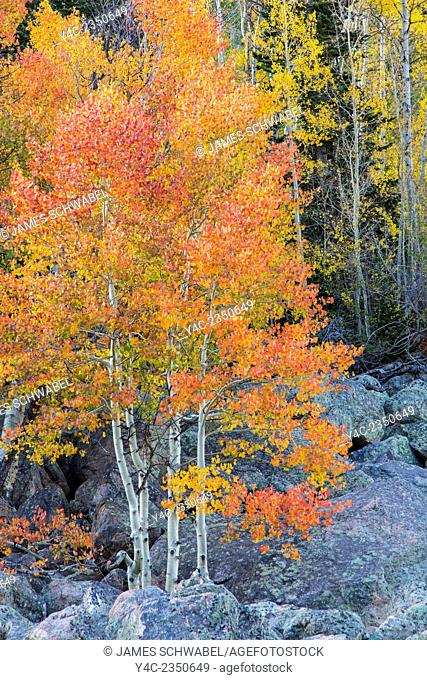 Bright colored fall Aspen trees along Bear Lake Rd in Rocky Mounmtains National Park Colorado