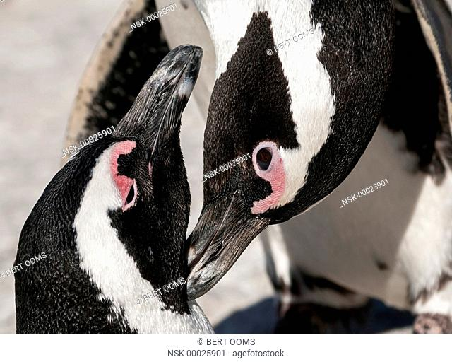 African Penguins (Spheniscus demersus) preening each other in close up, South Africa, Western Cape, Boulders Beach