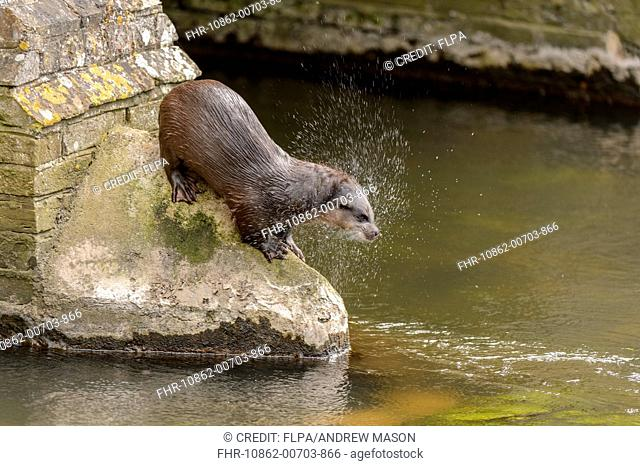European Otter (Lutra lutra) adult male, shaking water from coat, standing on bridge in town centre, River Thet, Thetford, Norfolk, England, April