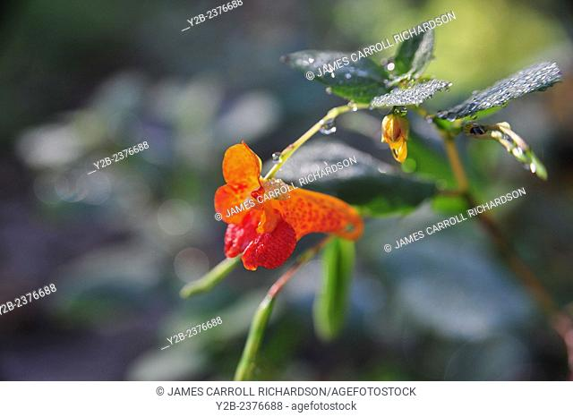 Jewelweed has scientific name of Impatiens capensis was pictured in Missouri