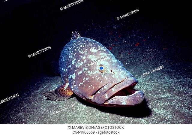 Portugal, Azores Islands, Dusky Grouper (Epinephelus marginatus)