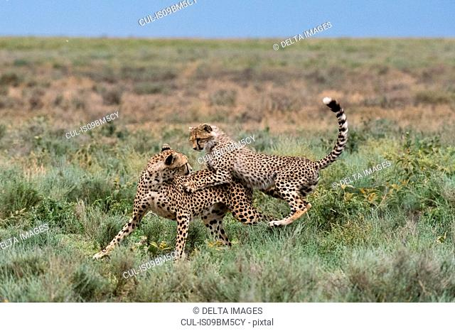 A female cheetah (Acinonyx jubatus) and its cub sparring, Ndutu, Ngorongoro Conservation Area, Serengeti, Tanzania
