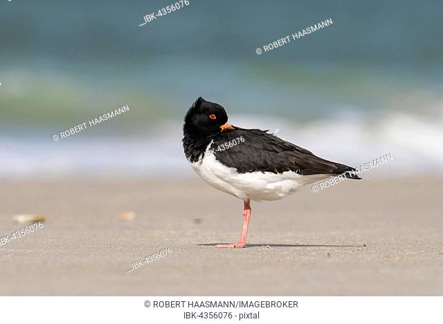 Eurasian oystercatcher (Haematopus ostralegus), with head in feathers, Heligoland, Schleswig-Holstein, Germany