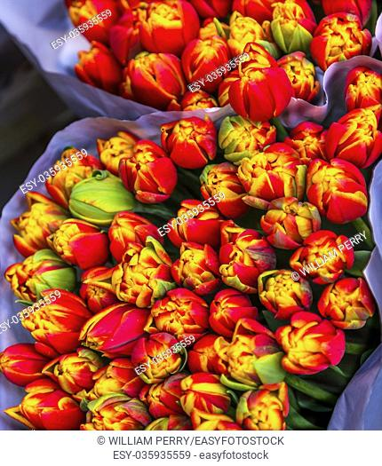 Red Yellow Tulips Flowers Bloemenmarket Flower Market Amsterdam Holland Netherlands. Red Tulips, perrenial bulb flower, are a symbols of love