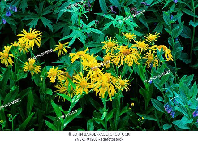 Lush bloom of sneezeweed and mountain bluebell, American Basin, San Juan Mountains, Colorado, USA