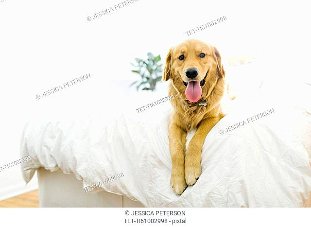 Portrait of golden retriever lying on bed