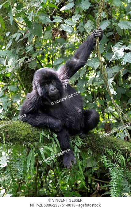 Young Mountain gorilla (Gorilla beringei beringei) playing in tree, Virunga National Park, Rwanda