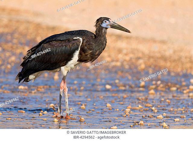 Abdim's Stork (Ciconia abdimii), standing in water, Salalah, Dhofar, Oman