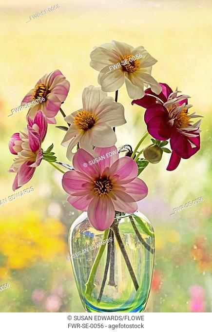 Dahlia cultivars in shades of pink and white arranged in glass vase set in front of window