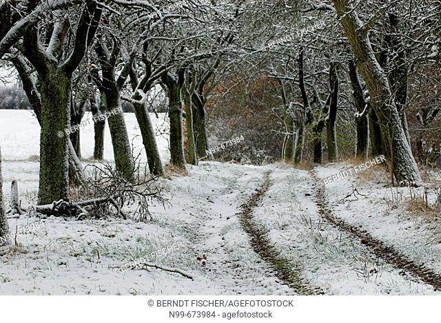 Alley with tree rows, tractor lane, apple trees in winter, first snow, snowy agricultural landscape, Franconia, Bavaria, Germany