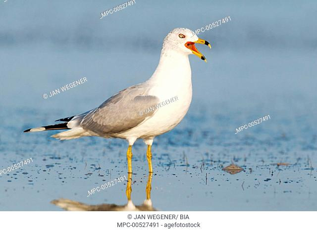 Ring-billed Gull (Larus delawarensis), Florida