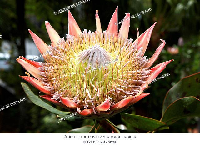 King protea (Protea cynaroides), Madeira, Portugal