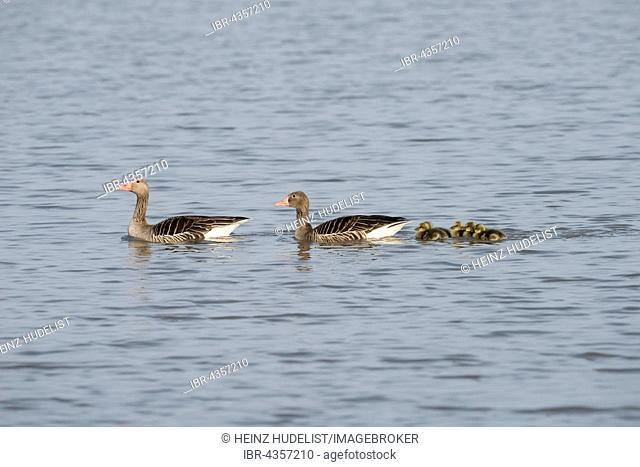 Greylag goose family (Anser anser) with gosling, swimming in lake, Lake Neusiedl, Burgenland, Austria
