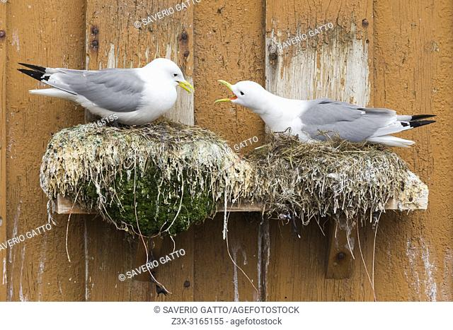 Black-legged Kittiwake (Rissa tridactyla), adults sitting on the nest