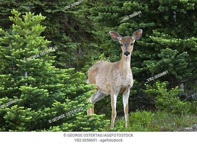 Deer on Hurricane Hill, Olympic National Park, Washington