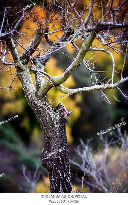 Tree in winter. Priorat, Tarragona province, Catalonia, Spain