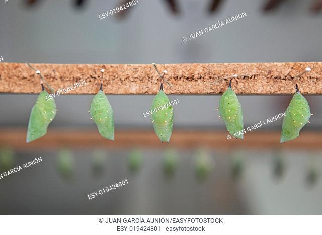 Five Four green pupas is hanging from pins