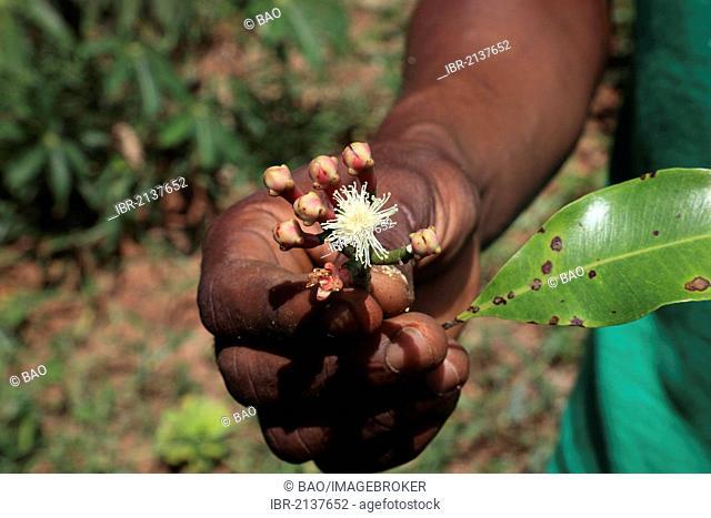 Hand holding a flower of the Clove (Syzygium aromaticum), Zanzibar, Tanzania, Africa