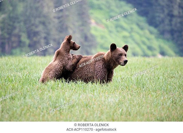 Grizzly bear (Ursus arctos horriblis), yearling cub with paws on female's back as female eats Lyngbye's sedge (Carex lyngbyei)