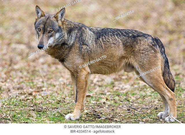 Italian Wolf (Canis lupus italicus), captive animal standing on the ground, Civitella Alfedena, Abruzzo, Italy