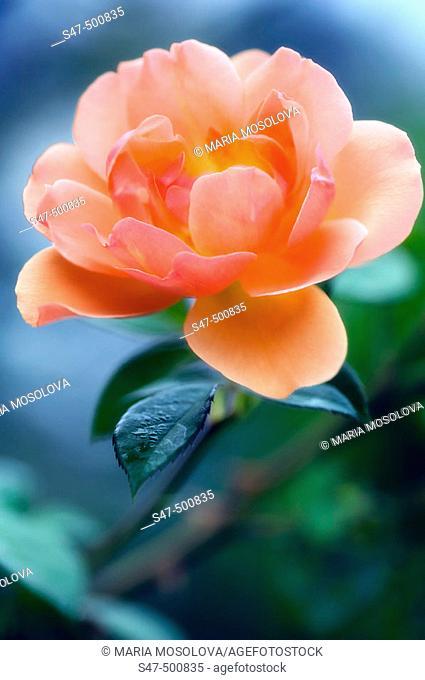 Peach Rose. Rosa hybrid. Maryland, USA