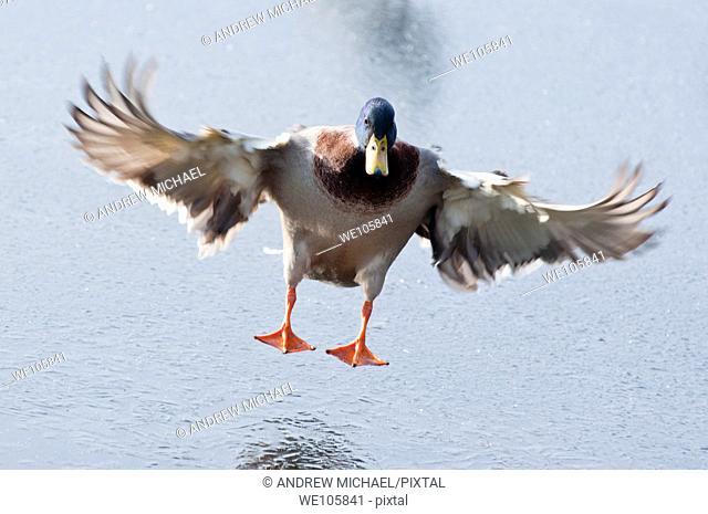 A Mallard Drake landing on a frozen lake in Worcestershire  England