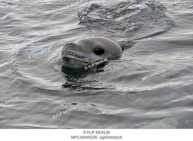 Leopard Seal (Hydrurga leptonyx) swimming at surface, Antarctica