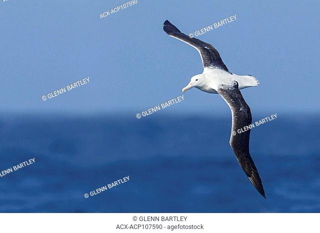 Southern Royal Albatross (Diomedea epomophora epomophora) flying over the ocean in search of food near South Georgia Island