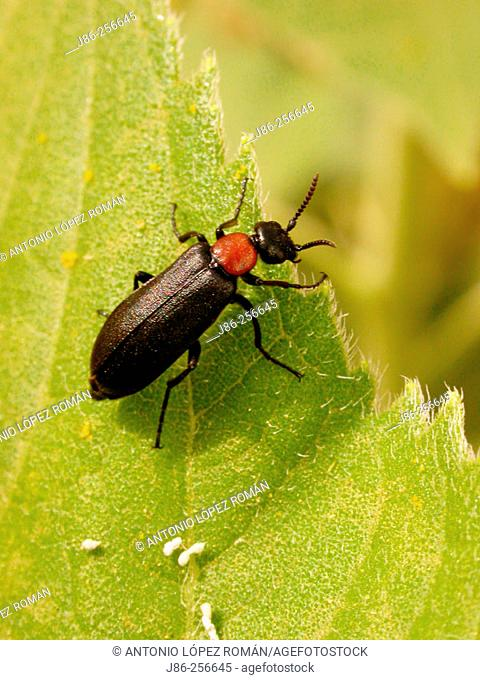 Beetle (Oenas afer), f. meloidae