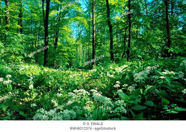 ramsons, buckrams, wild garlic, broad-leaved garlic, wood garlic, bear leek, bear's garlic (Allium ursinum), blooming, Germany, Upper Rhine plain