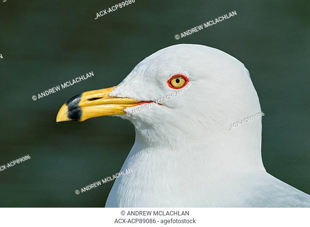 Ring-billed Gull (Larus delawarensis) portrait at Humber Bay Park, Toronto, Ontario, Canada