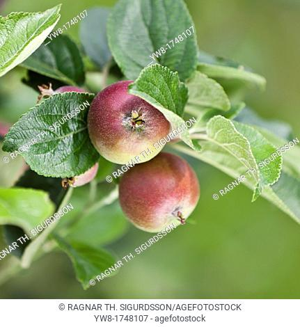 Apple Orchard, Lofthus, Ullensvang, Norway