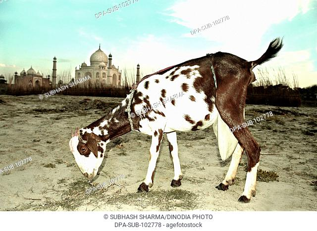 White brown spotted goat sunset banks river Yamuna flowing Taj Mahal Agra Ancient animal artist artistic beautiful blue sky clouds Color constructed 1631 A