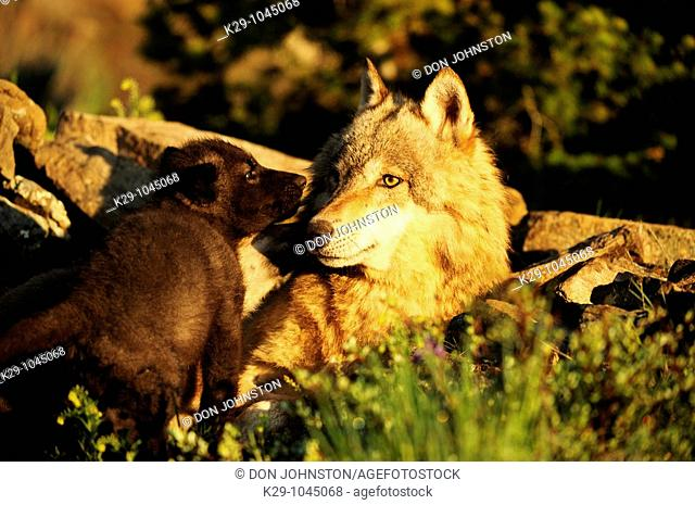 Gray wolf Canis lupus adult and babies at den