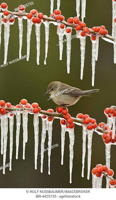 Pine warbler (Setophaga pinus), juvenile female perched on icy branch of meadow holly (Ilex decidua) with berries, Hill Country, Texas, USA