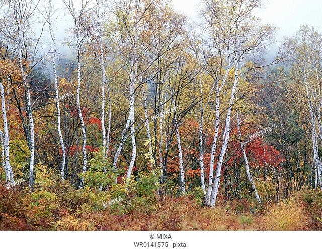 Tree With Autumn Leaves, Nagano, Japan