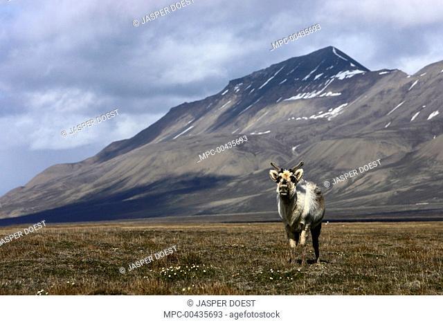 Svalbard Reindeer (Rangifer tarandus platyrhynchus) on tundra, Svalbard, Norway