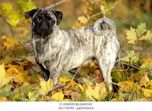 Pug standing in autumn leaves Germany