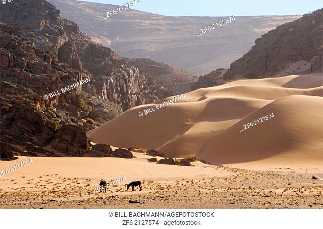 Namibia Northern Desert of Namib Desert wild oryx or gemsbok grazing in sand dunes of Hartmann Berge deserted land Hartmann Valley Marienflub