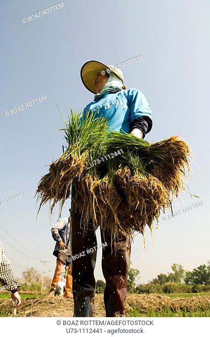 A Thai farmer transplanting rice from the nursery