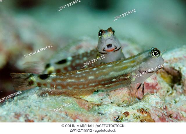 Monocle Blenny (Ecsenius monoculus), pair with one showing red lips, Dai North dive site, Forgotten Islands, Dai Island, Banda Sea, Indonesia