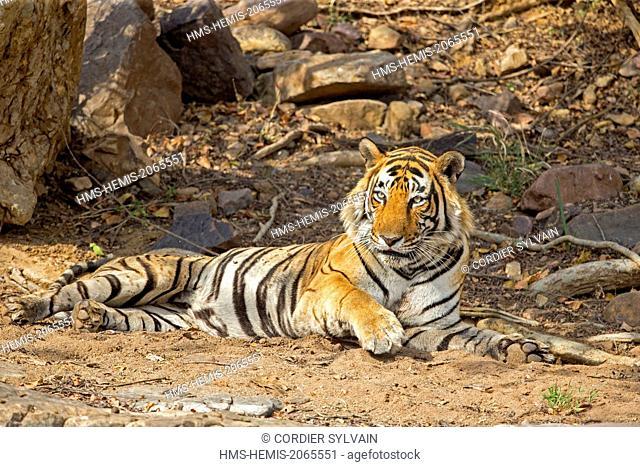 India, Rajasthan state, Ranthambore National Park, Bengal tiger (Panthera tigris tigris), resting