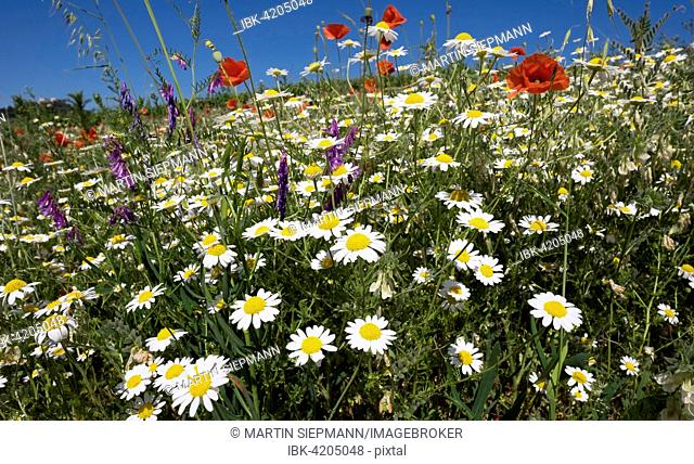 Flower meadow with poppies (Papaver rhoeas) and daisies (Leucanthemum), Falkenstein, Weinviertel, Lower Austria, Austria