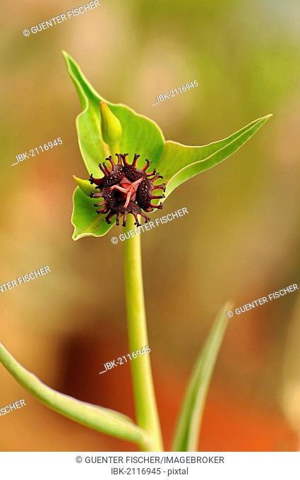 Flower of Euphorbia halii, Namaqualand, South Africa