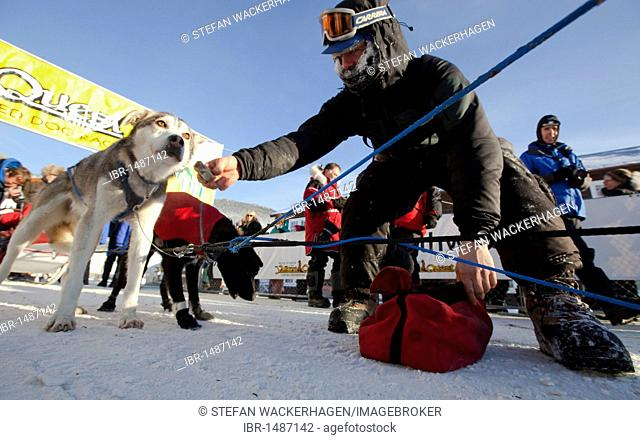 Dog musher Normand Casavant snacking his sled dogs after arriving in Dawson City, Yukon Quest 1, 000-mile International Sled Dog Race 2010, Yukon Territory