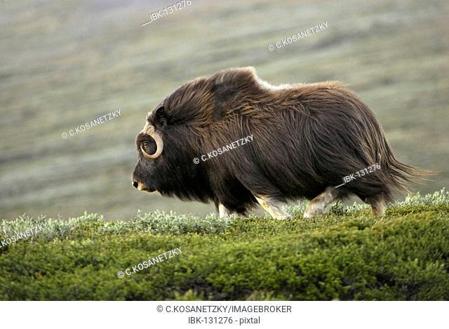Musk Ox (Ovibos moschatus), Nationalpark Dovrejell, Norway