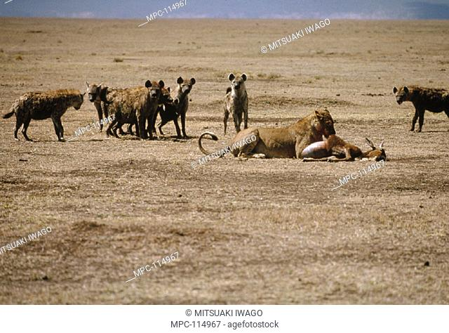 AFRICAN LION, (Panthera leo) FEEDING WHILE HYENAS, (Crocuta crocuta) ATTEMPT TO SCAVENGE, SERENGETI