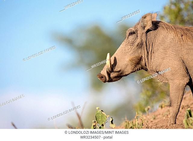 A side profile of a warthog, Phacochoerus africanus, standing on soil, white tusks, against blue sky