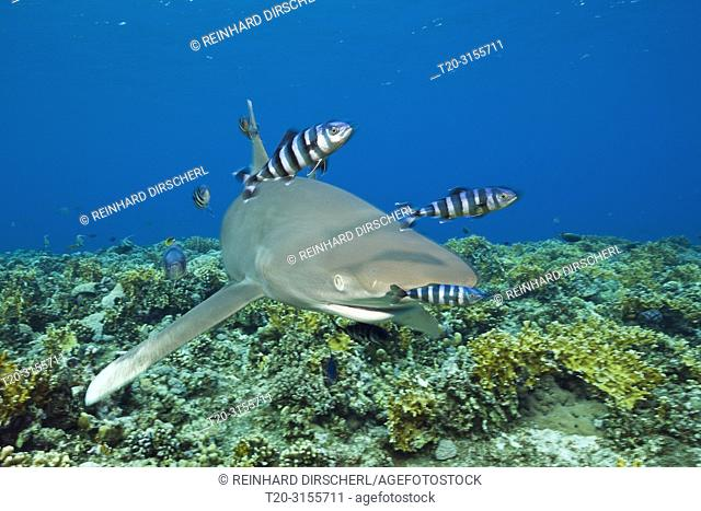 Oceanic Whitetip Shark, Carcharhinus longimanus, Brother Islands, Red Sea, Egypt